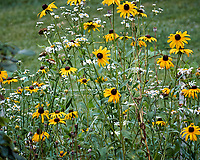 Black-eyed Susan and Daisy. Image taken with a Nikon N1V3 camera and 70-300 mm VR lens