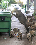 A wild boar and piglets in the streets of Haifa, Israel, April 09, 2021. Several neighborhoods in the northern Israeli city are being visited by families of wild boars. Many of the animals felt safer to come out of the Carmel woods surrounding the city in search for food, as most people were confined to their homes due to covid-19 lockdowns. As Israel slowly returned to normal life, following a large scale vaccination operation, human and animal encounters became more and more common.