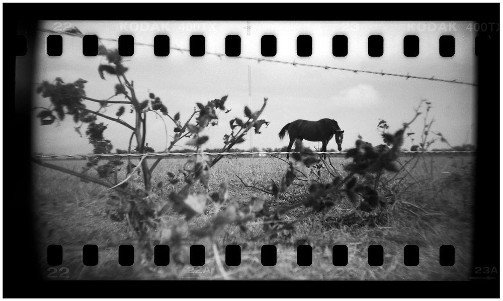A horse grazes in a field beside a road in Crawford, Texas, November 10, 2008. U.S. President George W. Bush moved to the small Texas town, population 705, in 1999 during his run for the presidency in 2000. The effect of the image was achieved by shooting 35mm black and white film in a medium format camera thereby exposing the entire negative including the sprocket holes of the film. REUTERS/Jim Young