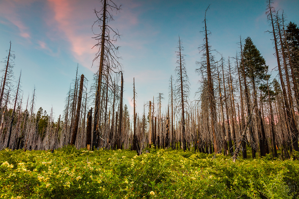"""""""Burnt Trees Sunset 1"""" - Sunset photograph of burnt trees and fresh green growth at Big Meadows Campground above Hell Hole Reservoir, California."""