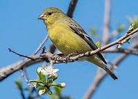 Female Lesser Goldfinch, Carduelis psaltria, perches in a plum tree in Berkeley, California