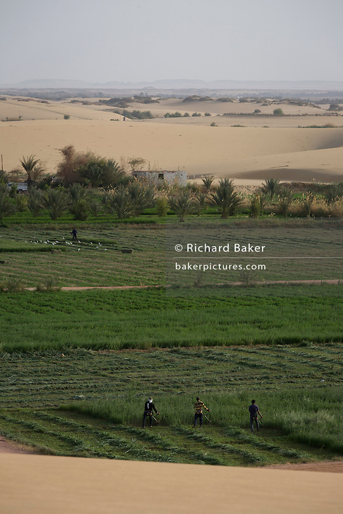 A team of workmen use strimmers in fertile fields where agriculture is important for survival, at Bedhal at Dahkla Oasis, Western Desert, Egypt where the availability of water determines the agricultural economic life in an oasis village. Dakhla Oasis consists of several communities, along a string of sub-oases. The main settlements are Mut (more fully Mut el-Kharab and anciently called Mothis), El-Masara, Al-Qasr, Qalamoun, together with several smaller villages. Some of the communities have identities that are separate from each other. Qalamoun has inhabitants that trace their origins to the Ottomans.