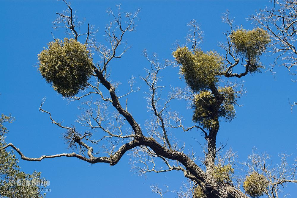 Greenleaf mistletoe, Phoradendron leucarpum tomentosum, on branches of deciduous oak, Quercus sp. Mount Diablo State Park, California