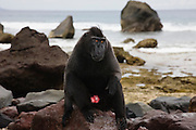 A male Celebes Crested Macaque ( Macaca nigra)sitting on a rock on a black sand beach, Sulawesi, Indonesia