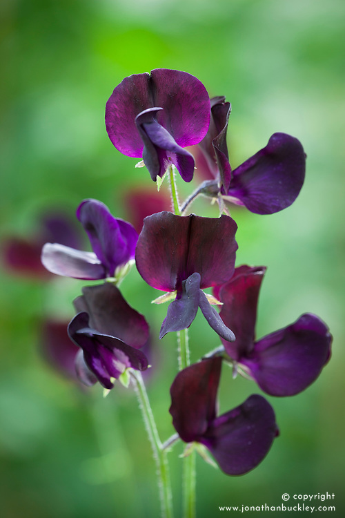 Lathyrus odoratus 'Almost Black'. Sweet pea