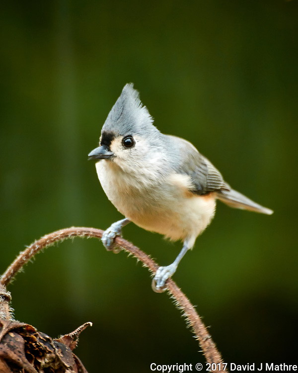 Tufted Titmouse looking for sunflower seeds. Autumn Backyard Nature in New Jersey. Image taken with a Nikon 1 V3 camera and 70-300 mm VR telephoto zoom lens (ISO 160, 300 mm, f/5.6, 1/15 sec).