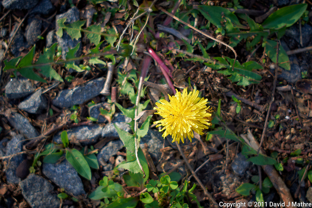 First Dandelion of Spring. Image taken with a Leica X1 (ISO 100, 24 mm, f/2.8, 1/250 sec).