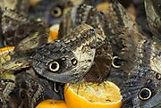 Owl Butterfly, Caligo species, South America, feeding on orange rotting fruit, Stratford Butterfly Farm, group,