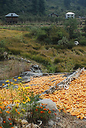 India, Corn dries in a landscape of the Himalayan mountain range