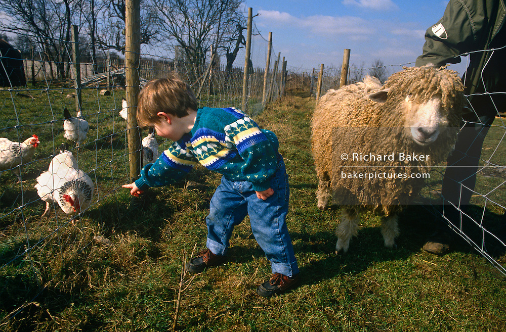 Young boy in a field plays with a ewe and chickens at Drusillas Park Zoo.