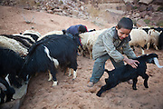 Young Bedouin boys wrestle lambs and kids from a goat and sheep herd at their remote home encampment in Wadi Rum, Jordan.