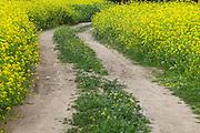 Wild Yellow Mustard Field