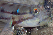 Arenigobius bifrenatus (Bridled goby)