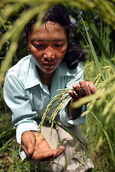 Single woman headed household in Kouk Doung village, Cambodia, 214 families<br /> Ms. Yorn Yee, 34, farmer and SRI instructor<br /> Mrs. Bin Ay (mother), 60<br /> Yorne walks through her small but intensive plots of rice agriculture direcly behind the home she shares with her parents and pulls rogue weeds and inspects seed heads.  These plots use the Oxfam promoted single seedling SRI process to great effect.