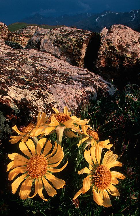 Alpine sunflowers near Trail Ridge, summer, evening light, Rocky Mountain National Park, Colorado, USA