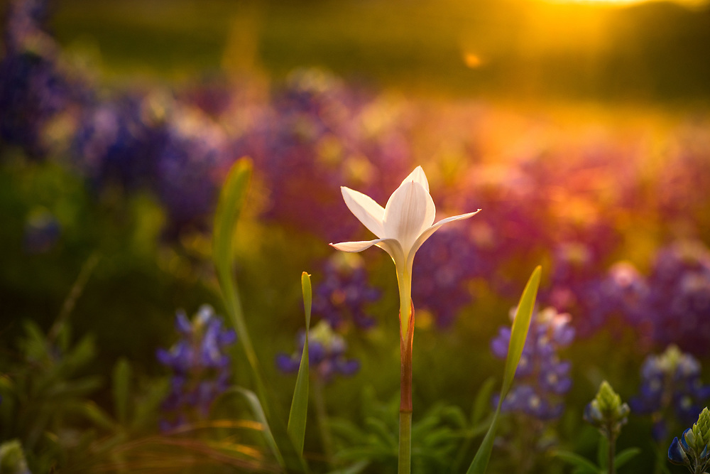 White rain lily, Wimberley, Texas