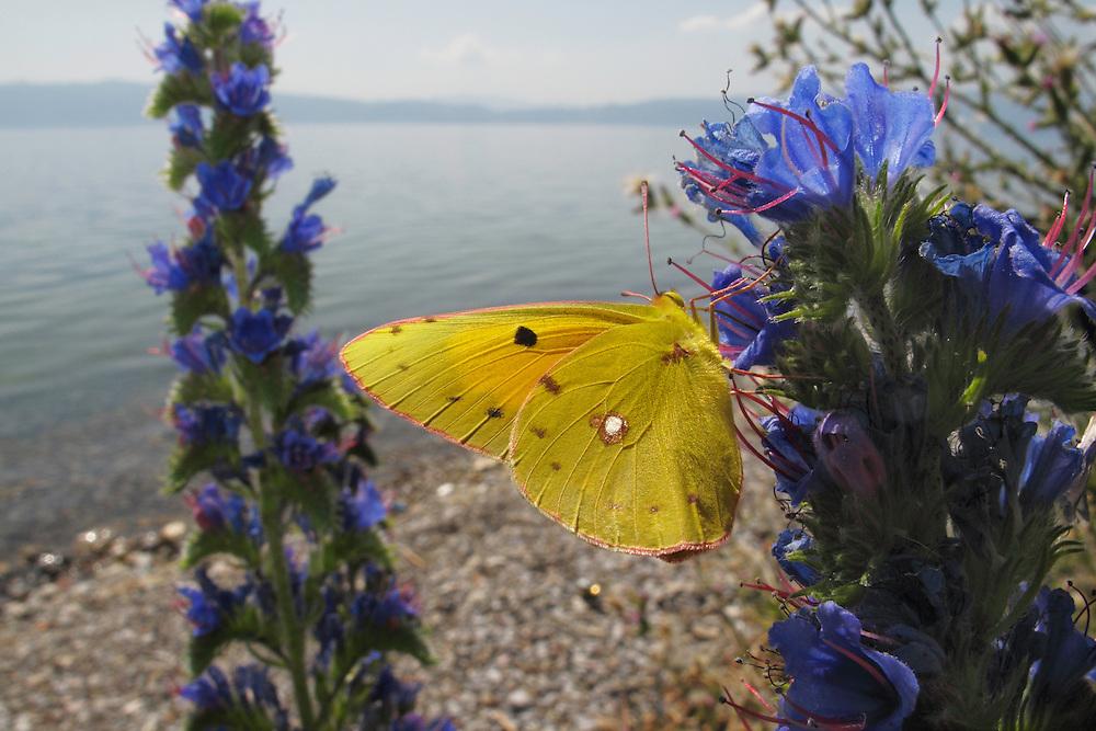 Clouded Yellow butterfly, Colias croceus, feeding on Viper's-Bugloss, Echium vulgare.<br /> Lagadin region. Lake Ohrid (693m).<br /> Galicica National Park, Macedonia, June 2009<br /> Mission: Macedonia, Lake Macro Prespa /  Lake Ohrid, Transnational Park<br /> David Maitland / Wild Wonders of Europe