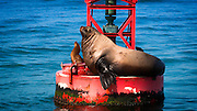 Steller sea lion (Eumetopias jubatus) on harbor buoy, Ventura, California