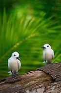 Charrán blanco en la Isla de las aves de Tikehau, Archipiélago Tuamotu, Polinesia Francesa