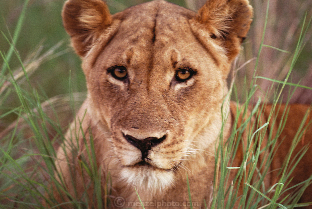 A lioness lying in the grass at dawn in Kruger National Park. Northern Transvaal, South Africa.