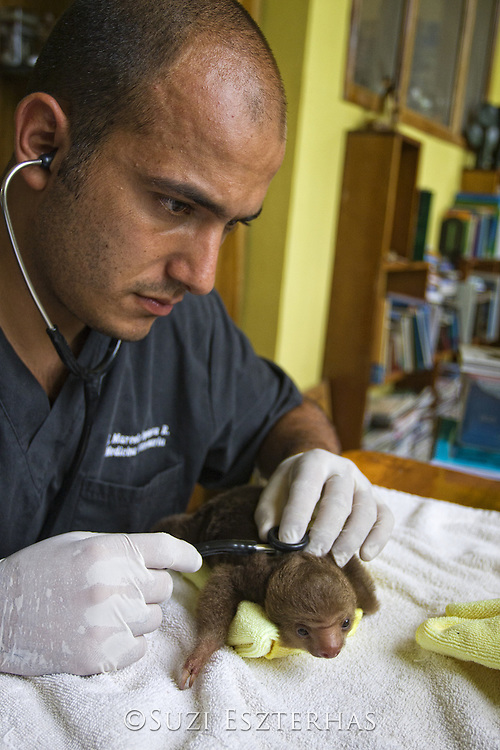 Hoffmann's Two-toed Sloth <br /> Choloepus hoffmanni<br /> Veterinarian examins two week old orphaned baby<br /> Aviarios Sloth Sanctuary, Costa Rica<br /> *Rescued and in rehabilitation program