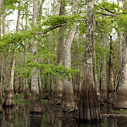 Captain Jack leads a tour of the Louisiana swamp land on a Honey Island Swamp Tour from Slidell. The narrated boat tour winds through alligator country allowing tourists to try their hand at nature photography as the captain baits gators ranging in sizes of 4-feet to more than 16-feet.