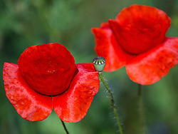 THEMENBILD - Der Klatschmohn (Papaver rhoeas), auch Mohnblume oder Klatschrose genannt, ist eine Pflanzenart aus der Familie der Mohngewächse. Hier im Bild drei Klatschmohnblüten, Aufgenommen am 19.05.2013 in Jois // THEMES IMAGE - Papaver rhoeas (common names include corn poppy, corn rose, field poppy, Flanders poppy, red poppy, red weed, coquelicot, and, due to its odour, which is said to cause them, as headache and headwark) is a species of flowering plant in the poppy family. In This Image two a poppy flowers, pictured on 2013/05/19. EXPA Pictures © 2013, PhotoCredit: EXPA/ Johann Groder