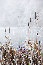 Bullrushes by a frozen lake in Gloucestershire on a frosty winter's day.