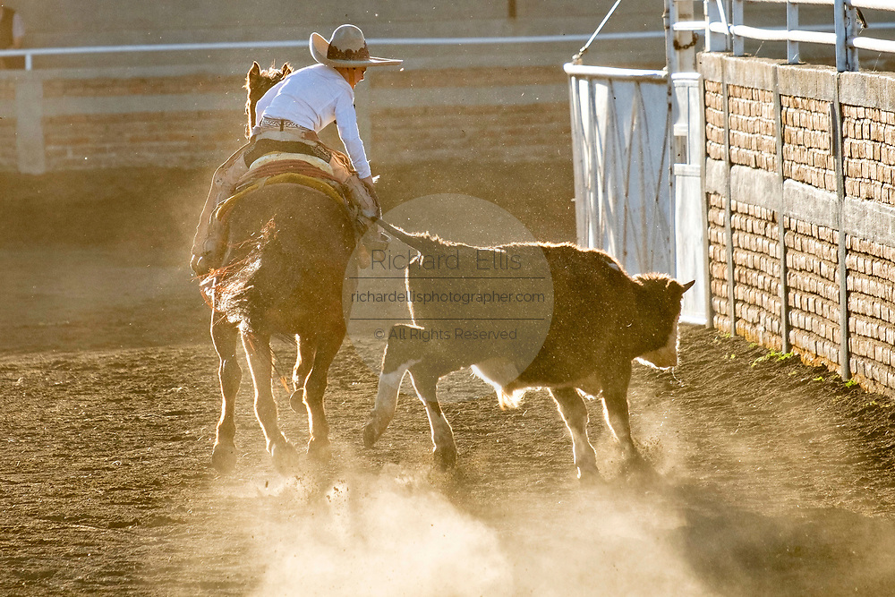 Juan Franco, Jr. grabs the tail of a steer during the Colas en el Lienzo event at the family Charreria practice session in the Jalisco Highlands town of Capilla de Guadalupe, Mexico. Colas en el Lienzo or Steer Tailing is similar to bull dogging except that the rider does not dismount; the charro rides alongside the left side of the bull, wraps its tail around his right leg, and tries to bring the bull down in a roll as he rides past it.