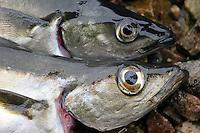 Øyet til liten sei (Pollachius virens) og en liten lyr (pollachius pollachius) - the eye to a small coalfish and a small pollac