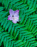 Rhododendron BlossomFallen on Wood Ferns,Redwood National Park, California