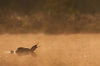 Red-throated diver (Gavia stellata) at dawn on mist-laden lake, Bergslagen, Sweden.