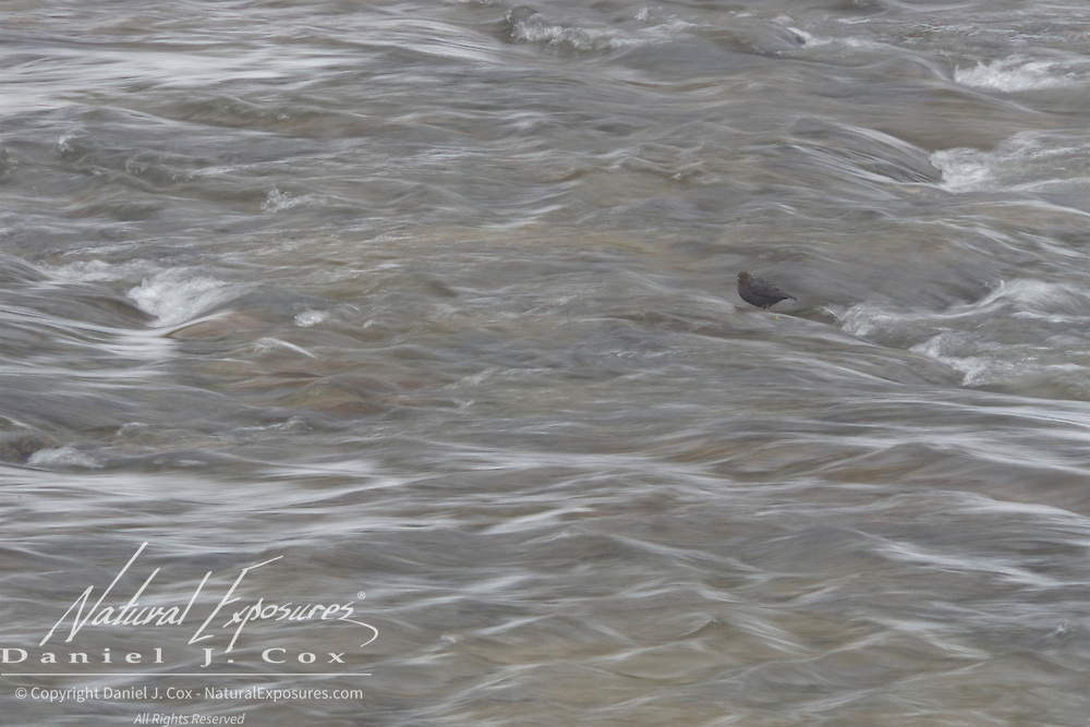 American Dipper on the Gibbon River, Yellowstone National Park, Wyoming.