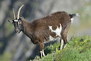 Goat Capra hircus Shoulder height 60-90cm Familiar domesticated animal. Feral populations established in several locations. Sure-footed on steep, broken terrain. Adult Feral Goat is shorter and stockier than domesticated forms. Coat is long, shaggy and variably coloured, often piebald mixture of grey, black and whitish. Male (billy) is larger and bulkier than female (nanny) and has recurved, ringed horns that increase in size with age. Many have a 'beard' and tassles on chin. Female is smaller than male, with shorter horns. Juvenile (kid) lacks horns. Voice Utters a warning whistle. Females summon their kids by bleating. Domesticated for more than 10,000 years, prized for its hair, milk, hide and meat. Probably brought to Britain by first Neolithic human settlers.