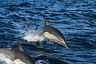 Common Dolphin, Delphinus delphis, dolphin, cetacean, marine, mammal, swimming, sea, ocean, baja, california, mexico