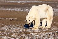 Polar bear (Ursus maritimus) yawning on Barter Island near Kaktovik in the Arctic National Wildlife Refuge in the Far North of Alaska. Autumn. Morning.