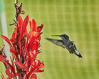 Ruby-throated Hummingbird. Image taken with a Nikon 1 V3 camera and 70-300 mm VR lens.