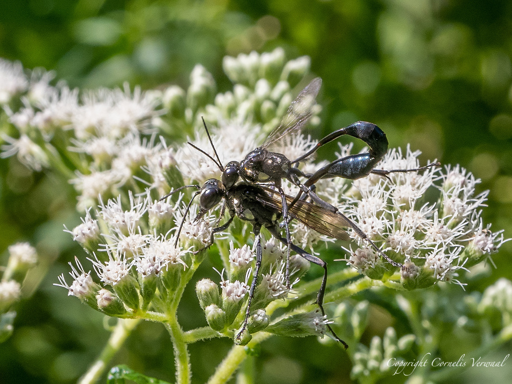 A pair of Gold-marked Thread-waisted Wasps (Eremnophila aureonotata) in amorous embrace; Central Park, Aug.25, 2021.