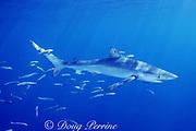blue shark, Prionace glauca, accompanied by pilot fish, Naucrates ductor, and blue horse mackerel, Trachurus sp., Azores Islands, Portugal ( North Atlantic Ocean )