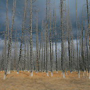 Burned Pine Tree Grove Storm Clouds - Yellowstone National Park