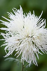 Chrysanthemums 'Erebus White'