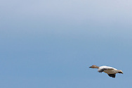 A lone Snow Goose (Chen caerulescens) flies across a blue sky while wintering at Fir Island in the Skagit River Delta, Puget Sound, Washington state, USA.