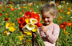 South Africa - Durban - 28 August 2020 - Coronavirus - Four year old Hannah Smit picking poppies ia a field which Bobby Collingwood plants every year in memory of his mother and father at his nursery, Greenman Nursery in Kloof.<br /> Picture: Shelley Kjonstad/African News Agency(ANA)