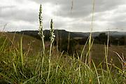 Autumn Lady's Tresses (Spiranthes spiralis) orchids. West Sussex, UK.