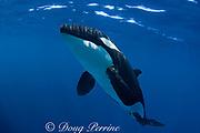 orca or killer whale ( Orcinus orca ) (c,dc)