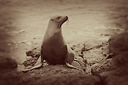 A young A young galapagos sea lion (Zalophus californianus) on South Plaza Island, Galapagos archipelago - Ecuador. on South Plaza Island, Galapagos archipelago - Ecuador.