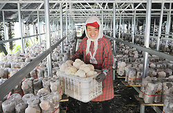 Aug. 14, 2017 - Mudanjiang, China - A worker plucks edible fungus hericium erinaceus (hedgehog hydnum) in a cooperative in Hailin town of Hailin City, northeast China's Heilongjiang Province. The city, famous for its hericium erinaceus production, is seeing a fast development of the edible fungus industry in the recent years as the local growers are supported with favorable policy and market oriented experiments. (Credit Image: © Zhang Chunxiang/Xinhua via ZUMA Wire)