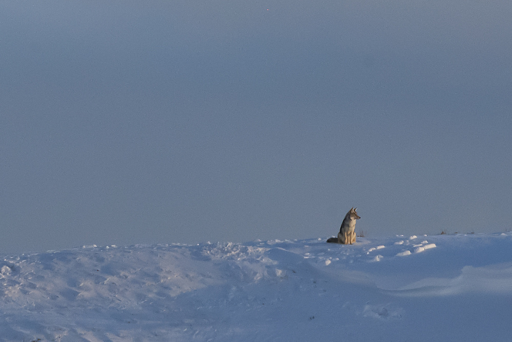 A coyote sits on a hillside and absorbs the last light of day.