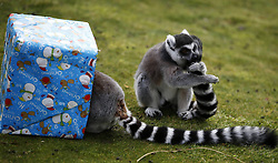 A lemurs receives Christmas treats from their keepers at ZSL Whipsnade Zoo in Whipsnade, North of London, UK Tuesday December 18, 2012. Photo by Imago / i-Images...UK ONLY