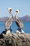A pair of Brown Pelicans (Pelecanus occidentalis) stand together on Isla Pitahaya in Bahia de Concepcion, Baja California Sur, Mexico. Brown Pelicans live in colonies, usually on islands like this one in the Sea of Cortez.
